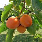 Kaki jabuka sorta Vanilija